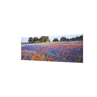 USA, Texas, Llano. Bluebonnets and redbonnets Canvas Prints