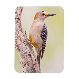 USA, Texas, Mission, Martin-Javelina Ranch. Male Rectangular Photo Magnet