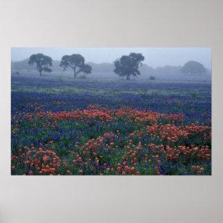 USA, Texas, near Lytle Fog, oaks, blue bonnets Poster