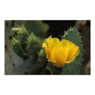 USA, Texas, Prickly Pear Cactus in bloom. Art Photo