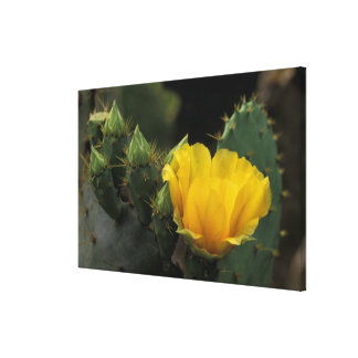 USA, Texas, Prickly Pear Cactus in bloom. Gallery Wrap Canvas