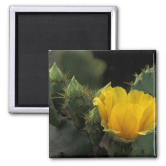 USA, Texas, Prickly Pear Cactus in bloom. Refrigerator Magnet