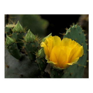 USA, Texas, Prickly Pear Cactus in bloom. Postcard