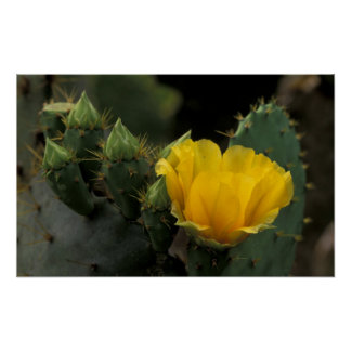 USA, Texas, Prickly Pear Cactus in bloom. Poster