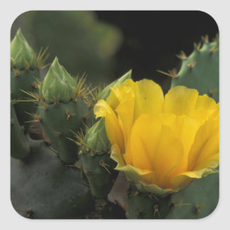 USA, Texas, Prickly Pear Cactus in bloom. Sticker