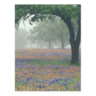USA, Texas. Texas paintbrush and bluebonnets Postcard
