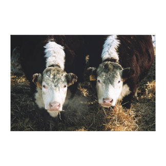 USA, Utah, Cache Valley, Hereford Steers Gallery Wrap Canvas