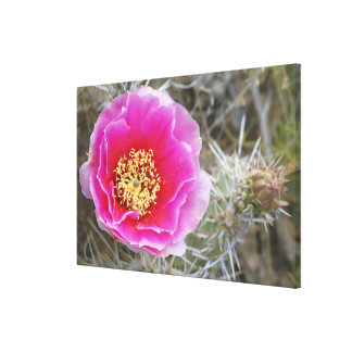 USA, Utah, Canyonlands NP, Desert Prickly Pear Gallery Wrapped Canvas