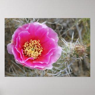 USA, Utah, Canyonlands NP, Desert Prickly Pear Poster
