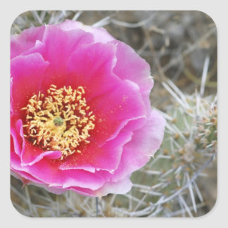 USA, Utah, Canyonlands NP, Desert Prickly Pear Square Sticker