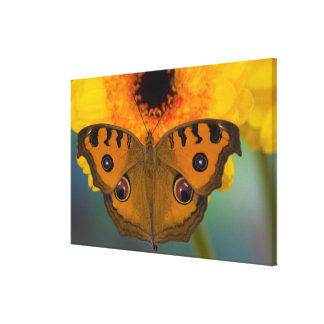 USA, WA, Sammamish, Tropical Butterfy 2 Gallery Wrapped Canvas