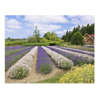 USA, WA, Sequim, Purple Haze Lavender Farm Postcard