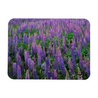 USA, Washington, Clallam County, Lupine Rectangular Photo Magnet