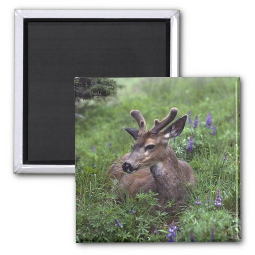 USA, Washington, Olympic National Park. Deer Magnets