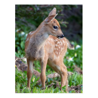 USA, Washington State. Blacktail Deer Fawn Postcard