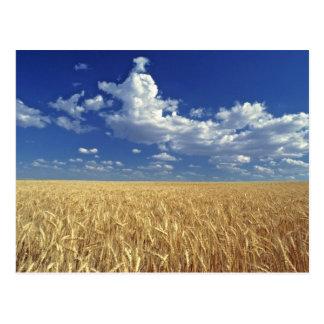 USA, Washington State, Colfax. Ripe wheat Postcard
