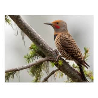 USA, Washington State. Male Northern Flicker 2 Postcard