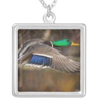 USA, Washington State, Mallard, male, flight. Silver Plated Necklace