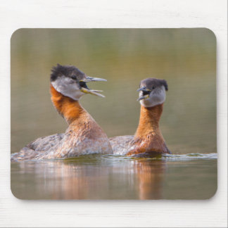 USA, Washington State. Mated Red-Necked Grebes Mousepad