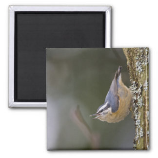 USA Washington State Red-brested Nuthatch Refrigerator Magnets