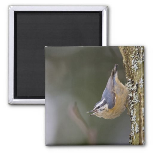 USA, Washington State, Red-brested Nuthatch, Refrigerator Magnets