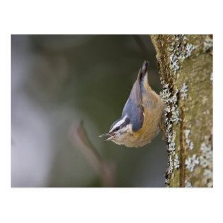 USA, Washington State, Red-brested Nuthatch, Postcard