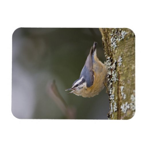 USA, Washington State, Red-brested Nuthatch, Magnets