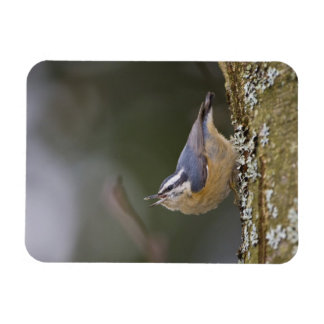 USA, Washington State, Red-brested Nuthatch, Rectangular Photo Magnet