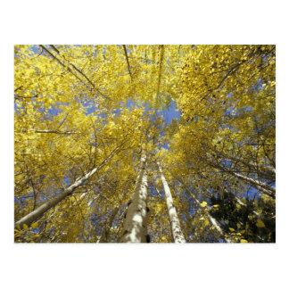 USA, Washington, Stevens Pass Fall-colored aspen Postcard
