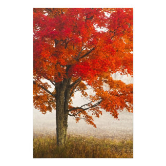 USA, West Virginia, Davis. Red maple in autumn Photographic Print