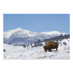 USA, WY, Yellowstone NP, American Bison Bison Art Photo