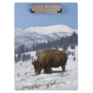 USA, WY, Yellowstone NP, American Bison Bison Clipboard