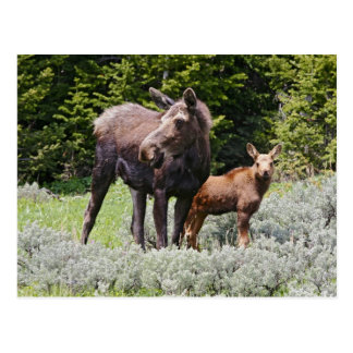 USA, Wyoming, Bighorn Mountains, moose Alces Postcard
