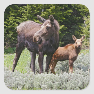 USA, Wyoming, Bighorn Mountains, moose Alces Square Sticker