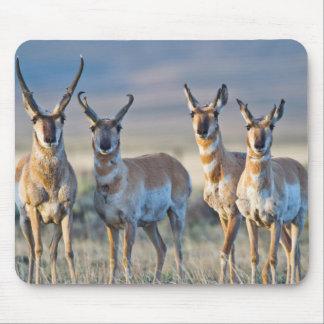 USA, Wyoming, Four Pronghorn antelope bucks Mouse Pad