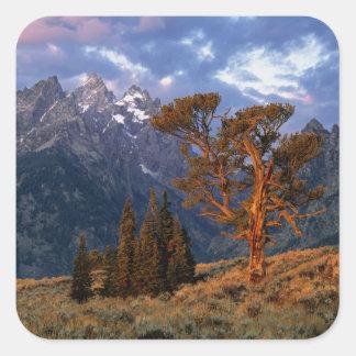 USA, Wyoming, Grand Teton NP. A lone cedar Square Sticker