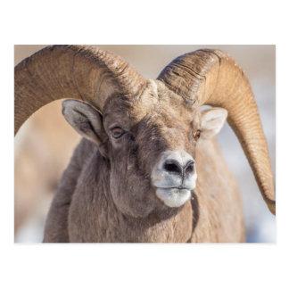 USA, Wyoming, National Elk Refuge, Bighorn Sheep Postcard