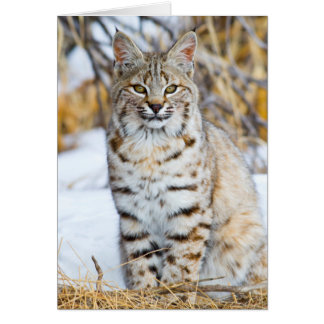 USA, Wyoming, Portrait of Bobcat sitting Card