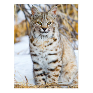 USA, Wyoming, Portrait of Bobcat sitting Postcard
