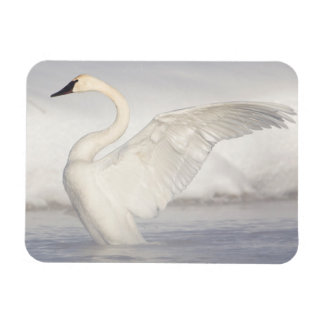 USA, Wyoming, Trumpeter Swan stretches wings Rectangular Photo Magnet