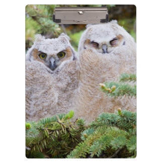 USA, Wyoming, two fledged Great Horned Owl Clipboard