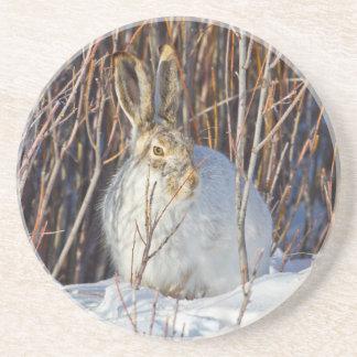 USA, Wyoming, White-tailed Jackrabbit sitting on Coasters
