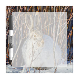 USA, Wyoming, White-tailed Jackrabbit sitting on Dry Erase White Board