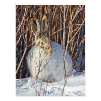 USA, Wyoming, White-tailed Jackrabbit sitting on Postcard