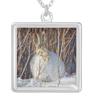 USA, Wyoming, White-tailed Jackrabbit sitting on Silver Plated Necklace