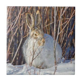 USA, Wyoming, White-tailed Jackrabbit sitting on Small Square Tile