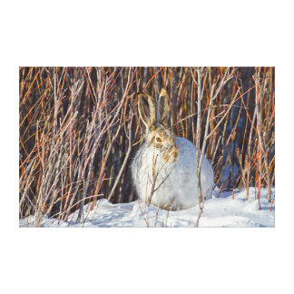 USA, Wyoming, White-tailed Jackrabbit sitting on Stretched Canvas Print