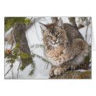 USA, Wyoming, Yellowstone National Park, Bobcat 1 Card