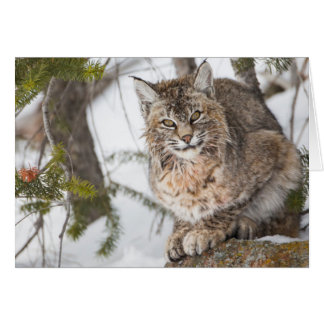 USA, Wyoming, Yellowstone National Park, Bobcat 1 Card