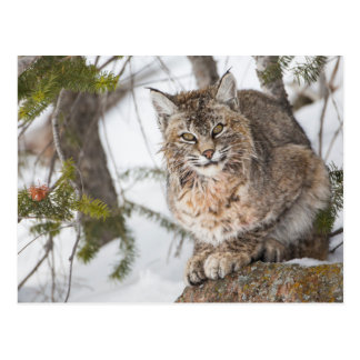 USA, Wyoming, Yellowstone National Park, Bobcat 1 Postcard